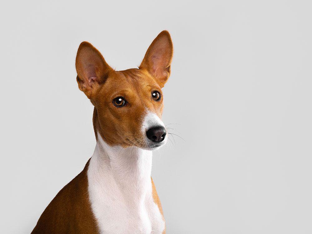 Le Basenji est un chien hypoallergène.