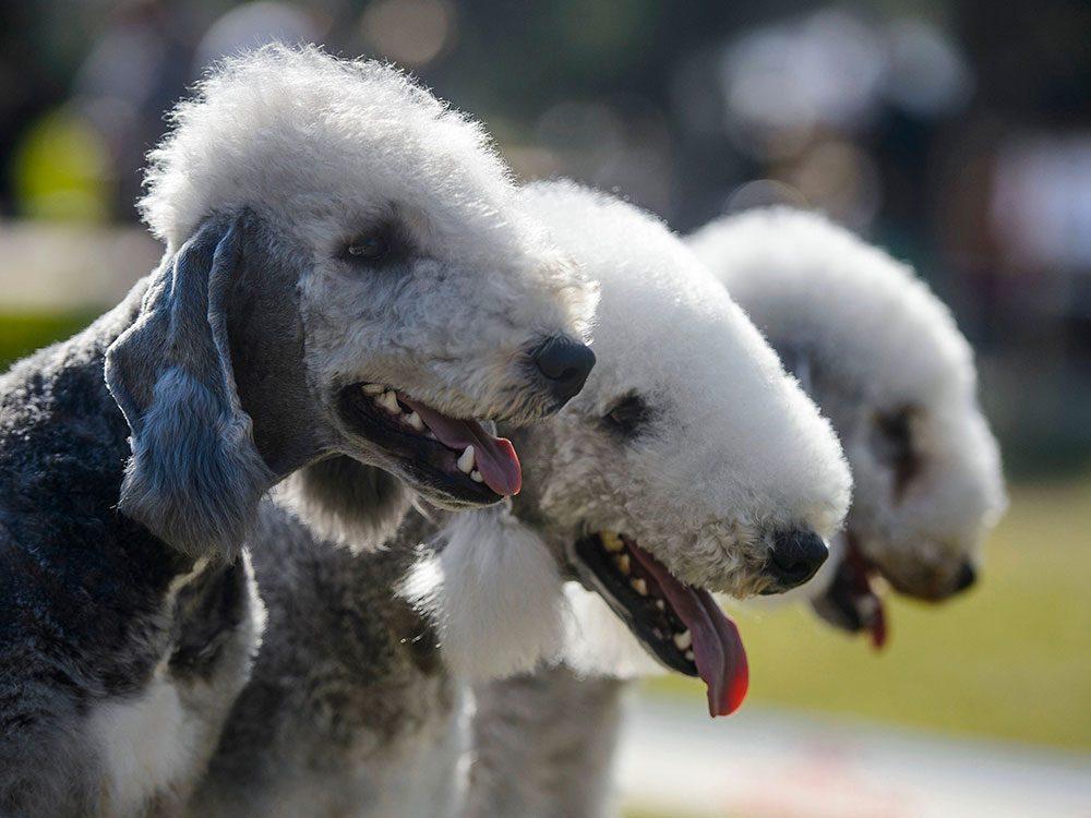 Le Bedlington Terrier est un chien hypoallergène.