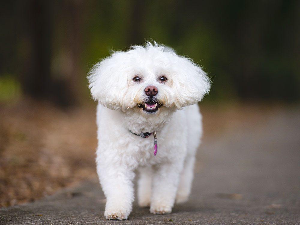 Le Bichon frisé est un chien hypoallergène.