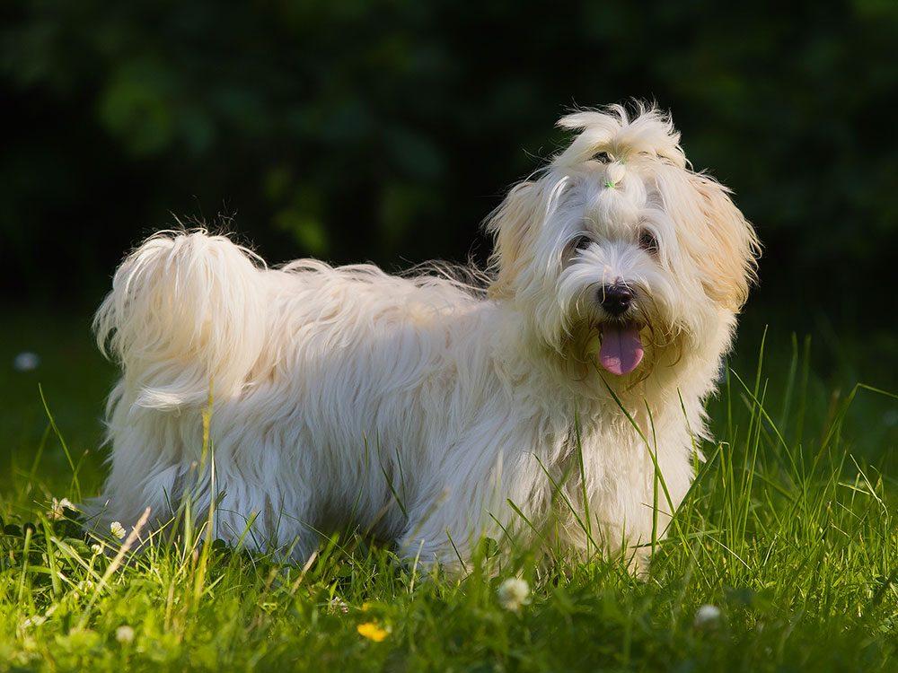 Le Bichon havanais est un chien hypoallergène.