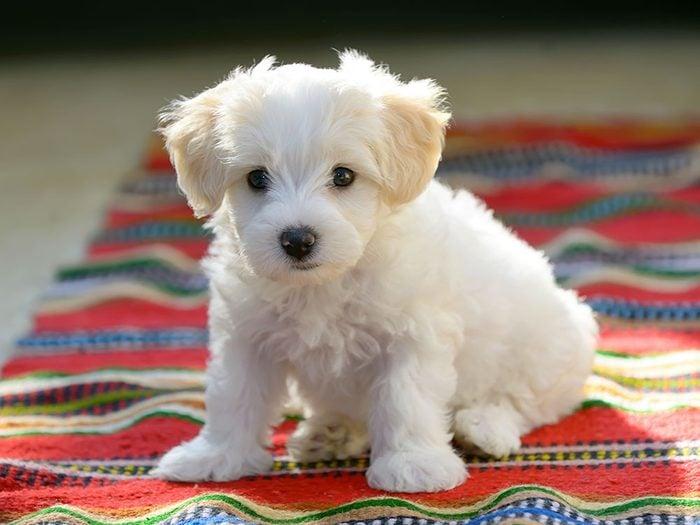 Le Bichon maltais est un chien hypoallergène.