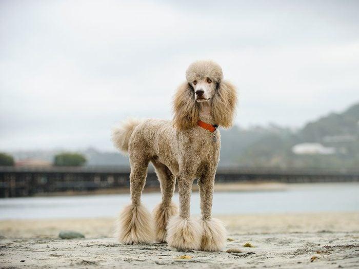 Le Caniche est un chien hypoallergène.