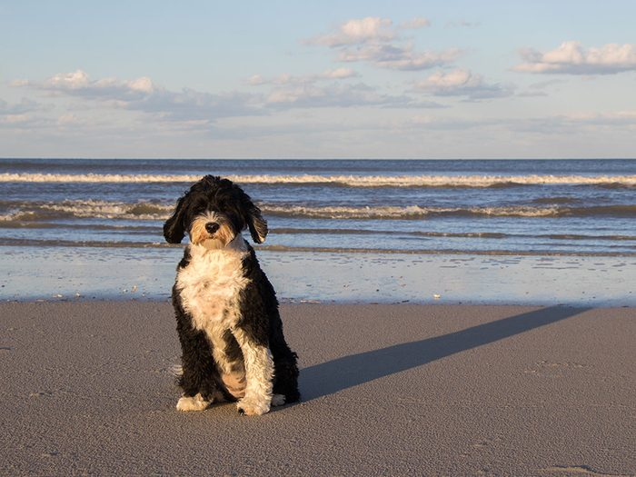 Le Chien d'eau portugais est un chien hypoallergène.