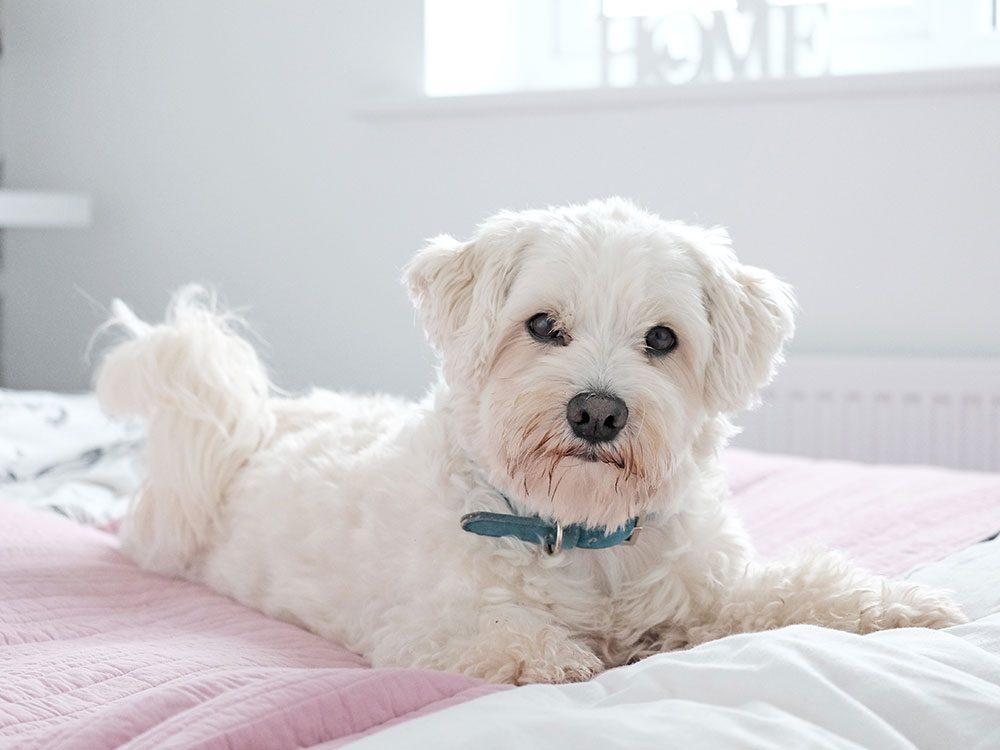 Le Coton de Tuléar est un chien hypoallergène.