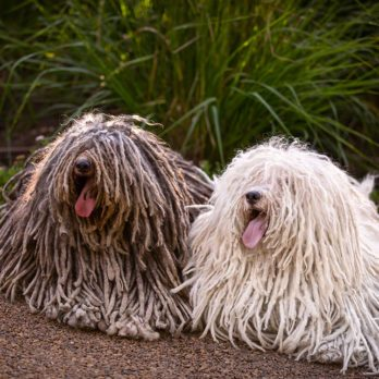 18 races de chiens hypoallergènes