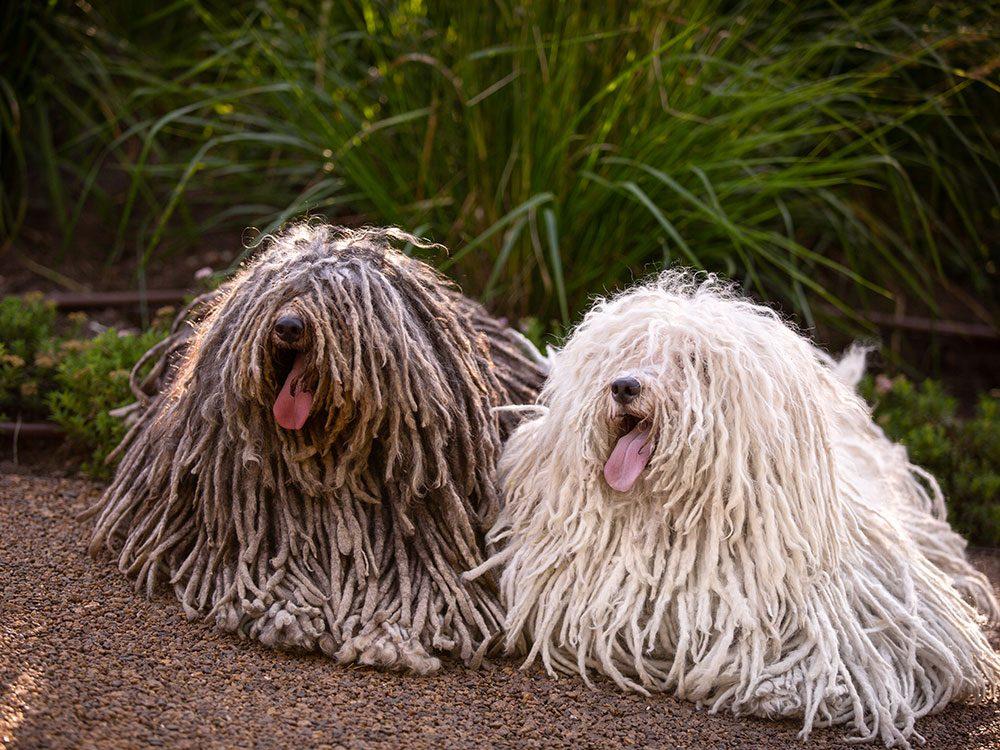 Le Puli (Berger hongrois) est un chien hypoallergène.