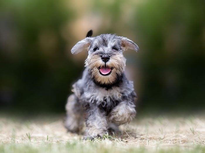 Le Schnauzer est un chien hypoallergène.