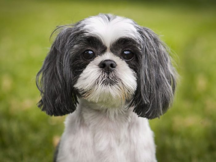 Le Shih Tzu est un chien hypoallergène.