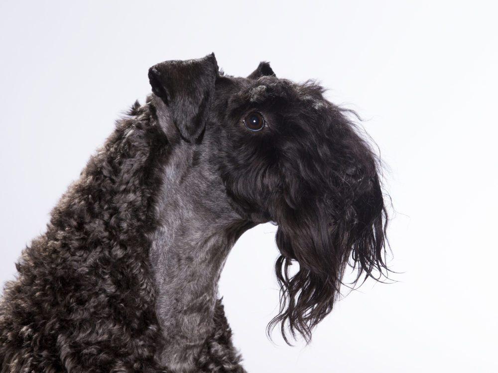 Le Terrier Kerry Blue est un chien hypoallergène.