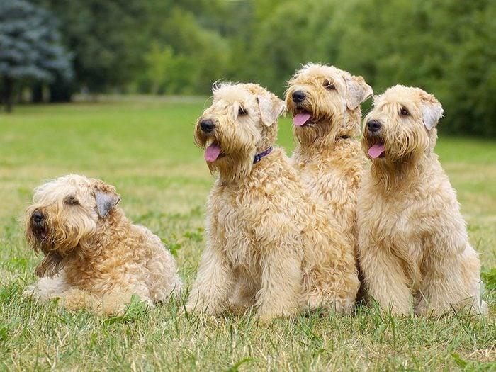 Le Terrier irlandais à poil doux (Wheaten) est un chien hypoallergène.