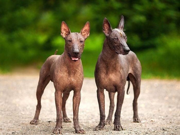Le Xoloitzcuintle est un chien hypoallergène.