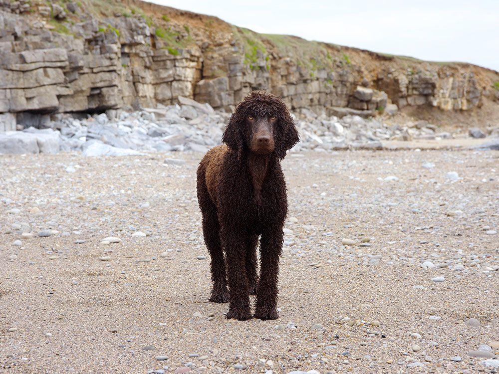 L'Épagneul d'eau irlandais est un chien hypoallergène.