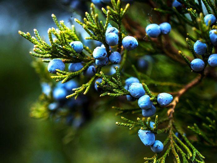 L'huile essentielle de genièvre est reconnue pour ses propriétés antiseptiques et donc pour combattre l'acné.