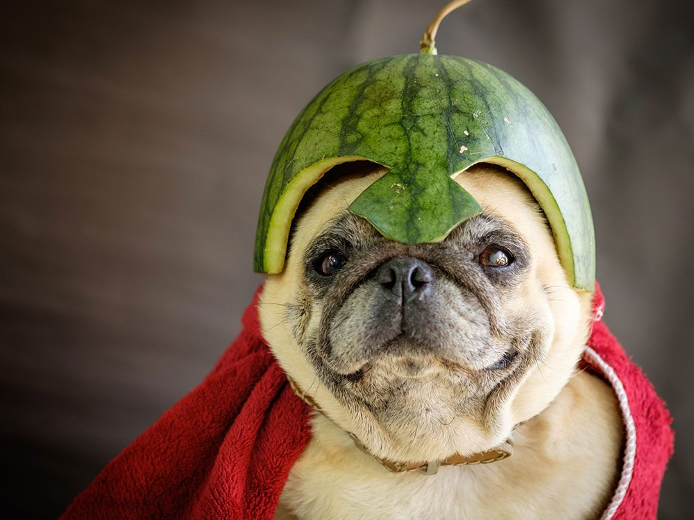 Photos hilarantes: un Carlin à chapeau melon.