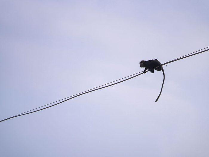 Photos hilarantes: un singe funambule.