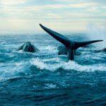 Il perd la vie en voulant sauver les baleines