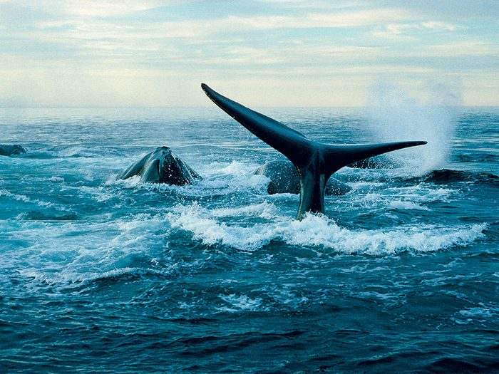 Joe Howlett, un pêcheur du Nouveau-Brunswick, a été un des premiers à s'embarquer pour sauver les baleines.