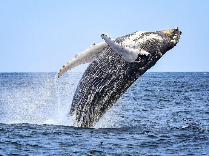 Sauver les baleines: vers 1930, on tuait chaque année 50000baleines.