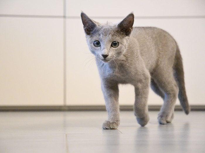 Fait sur les chats: ils sont digitigrades et marchent sur le bout des orteils.