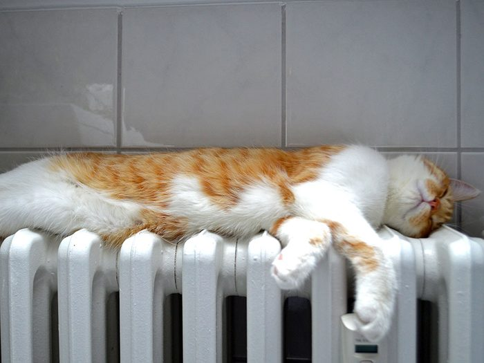 Fait sur les chats: la température d'un chat se situe entre 37°C et 39°C (100 °F et 102 °F).