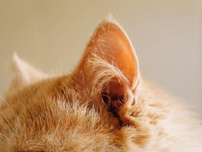 Fait sur les chats: leurs oreilles sont autonomes.