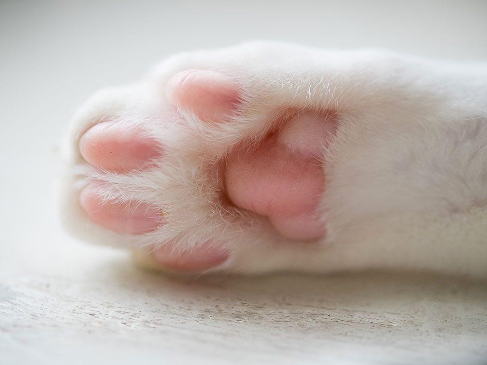 Fait sur les chats: ils transpirent par leurs coussinets plantaires.