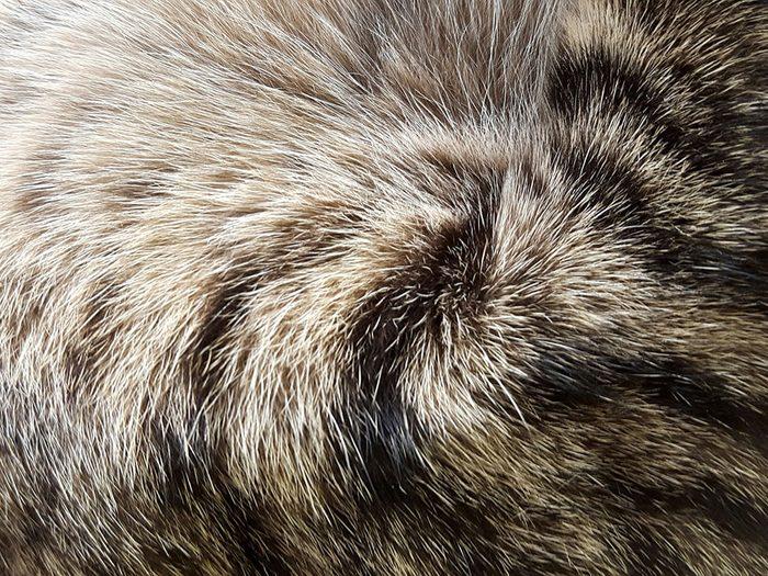 Fait sur les chats: ils ont quatre sortes de poils.
