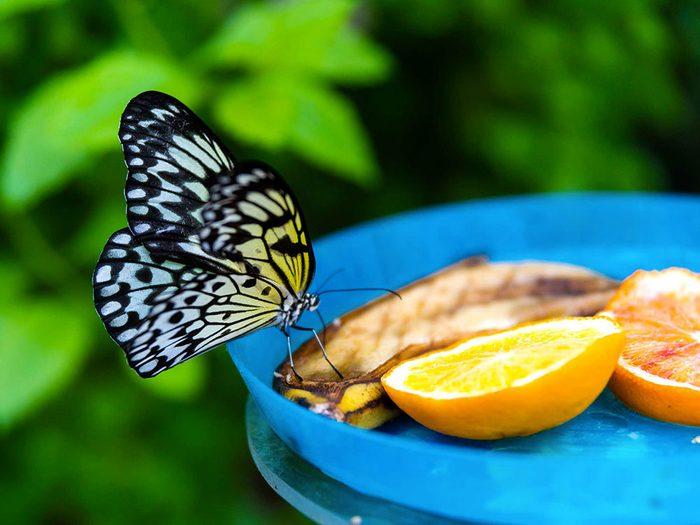 Attirer les papillons et les oiseaux avec des bananes.