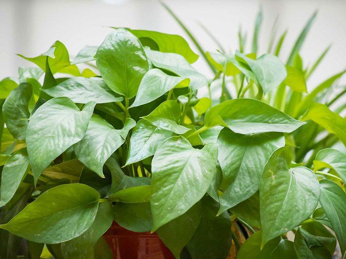 Lustrer les plantes d'intérieur avec une banane.