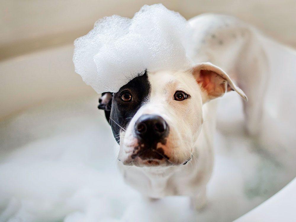 Le vétérinaire conseille d'être prudent lorsque vous lavez vos animaux.