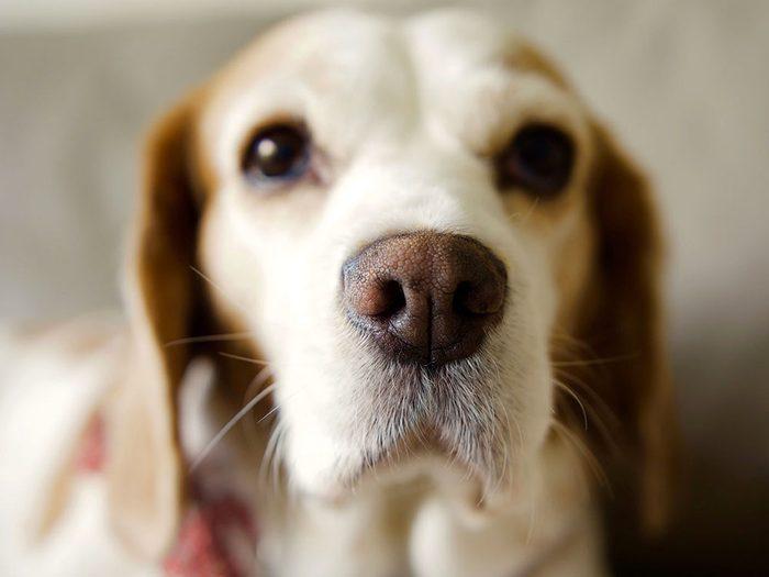 Le vétérinaire conseille de ne pas vous fier au museau de votre chien pour savoir s'il est en santé.
