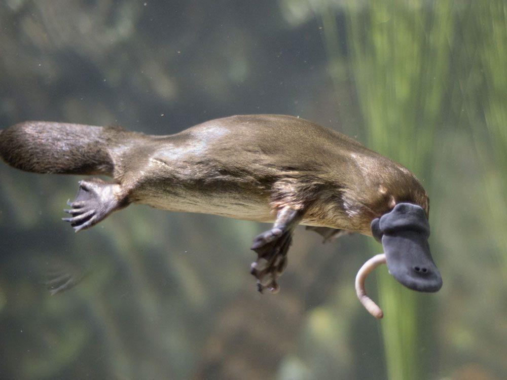 Faits incroyables: la piqûre la plus douloureuse est celle de l'ornithorynque.