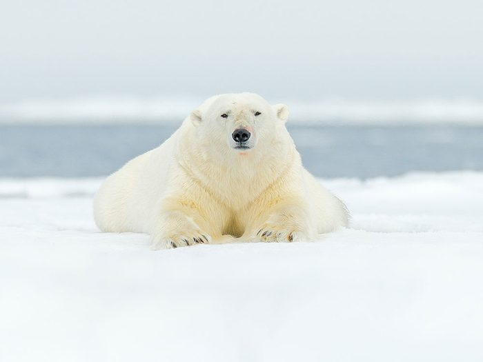 Faits incroyables: les ours polaires ne sont pas blancs.
