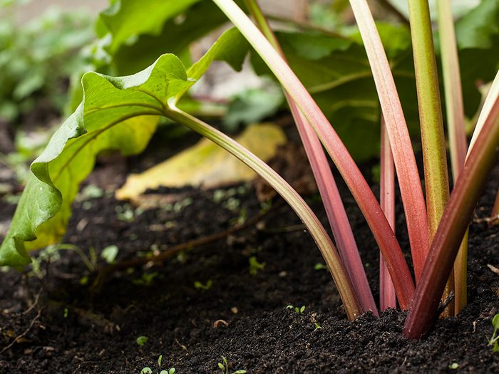 Faits incroyables: on peut entendre pousser la rhubarbe.