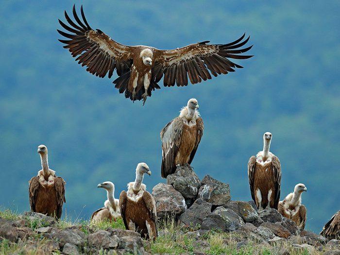 Histoire insolite: les excréments des vautours sur une antenne radio au Texas.