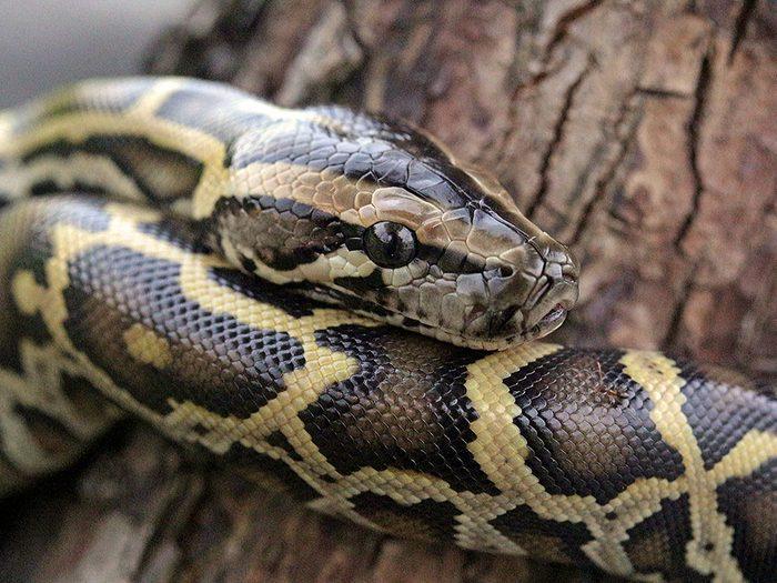 Histoire insolite: des pythons dans Toronto.