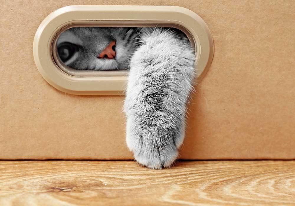 Voici pourquoi les chats aiment se cacher dans les boites.