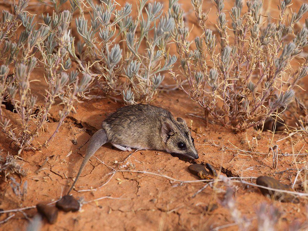 Le Dunnart est l'un des animaux qui risquent de disparaître à causes des incendies en Australie.