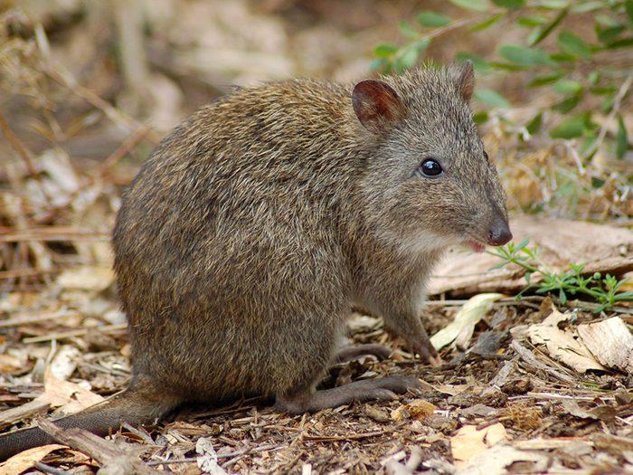 Le Potorou à long nez est l'un des animaux qui risquent de disparaître à causes des incendies en Australie.