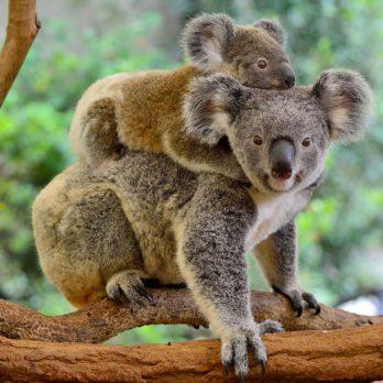 Incendies en Australie: 7 animaux qui risquent de disparaître