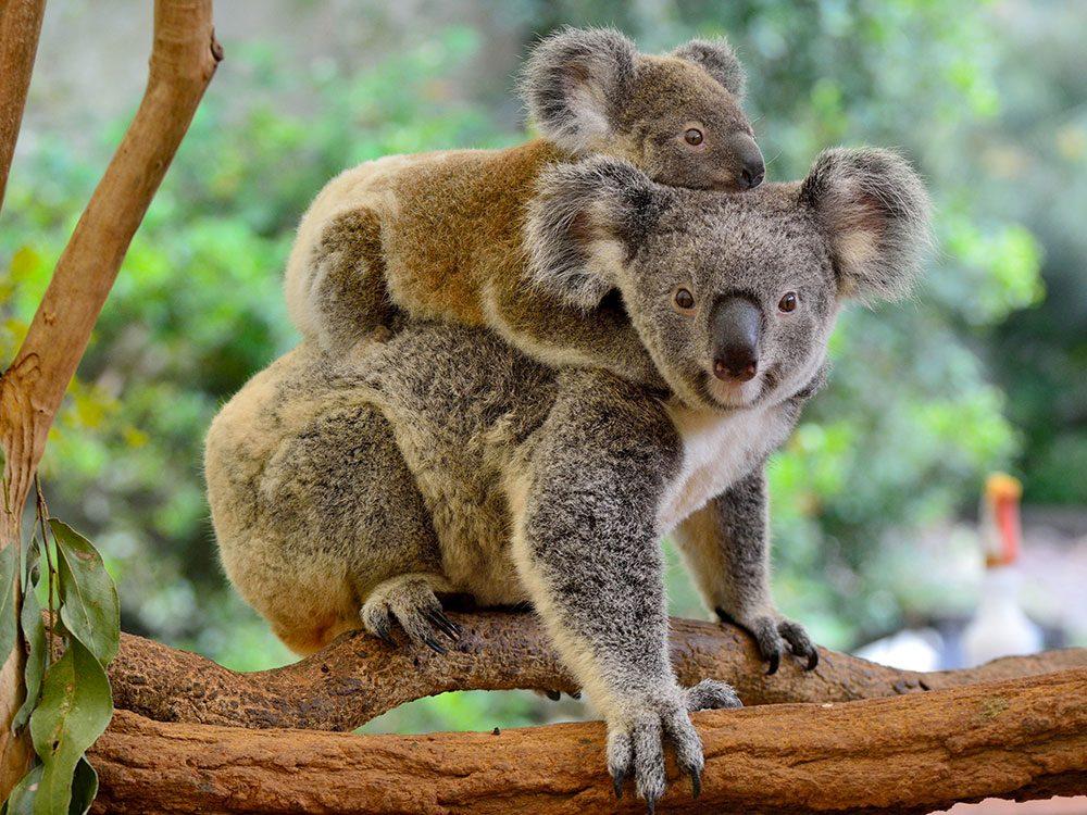 Le Koala est l'un des animaux qui risquent de disparaître à causes des incendies en Australie.
