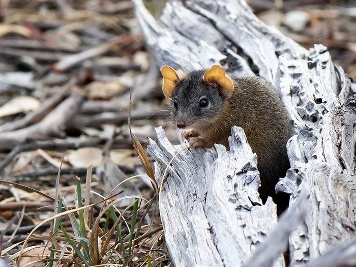 L'Antéchin à tête argentée est l'un des animaux qui risquent de disparaître à causes des incendies en Australie.