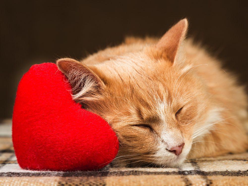 Comportement du chat: plus il est jeune plus son coeur bat vite.