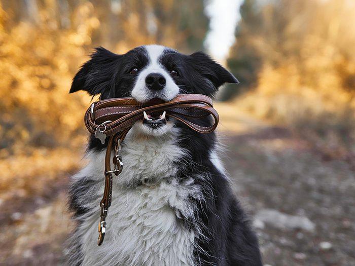 La laisse de votre chien est un nid à bactéries!