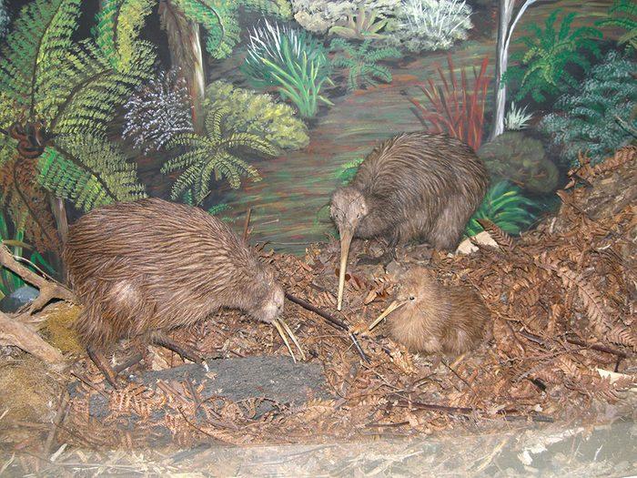 La captivité est parfois nécessaire pour la survie du kiwi de Nouvelle-Zélande.