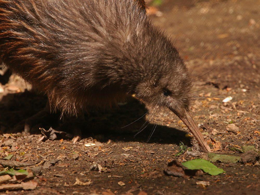 Le kiwi de Mantell, en Nouvelle-Zélande.