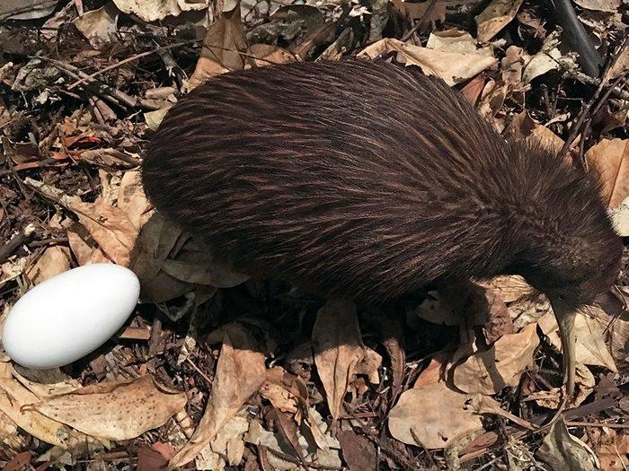 Chez le kiwi de Nouvelle-Zélande, c'est la mâle qui couve l'oeuf.