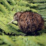 Espèce menacée: le plan de la Nouvelle-Zélande pour préserver le kiwi