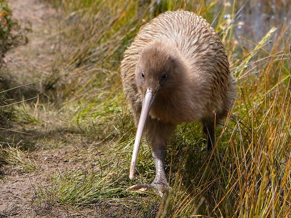 Le kiwi de Nouvelle-Zélande est un oiseau incapable de voler, et souvent sans défense.