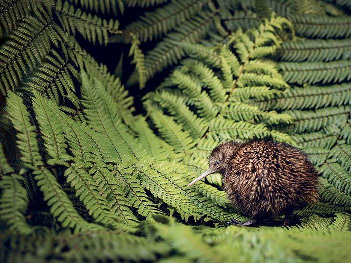 Le kiwi de Nouvelle-Zélande, cet oiseau rare menacé d'extinction.